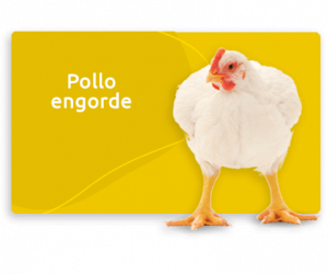 pollo engorde